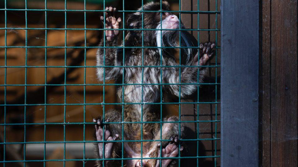 Pieni apinanpentu häkissä.