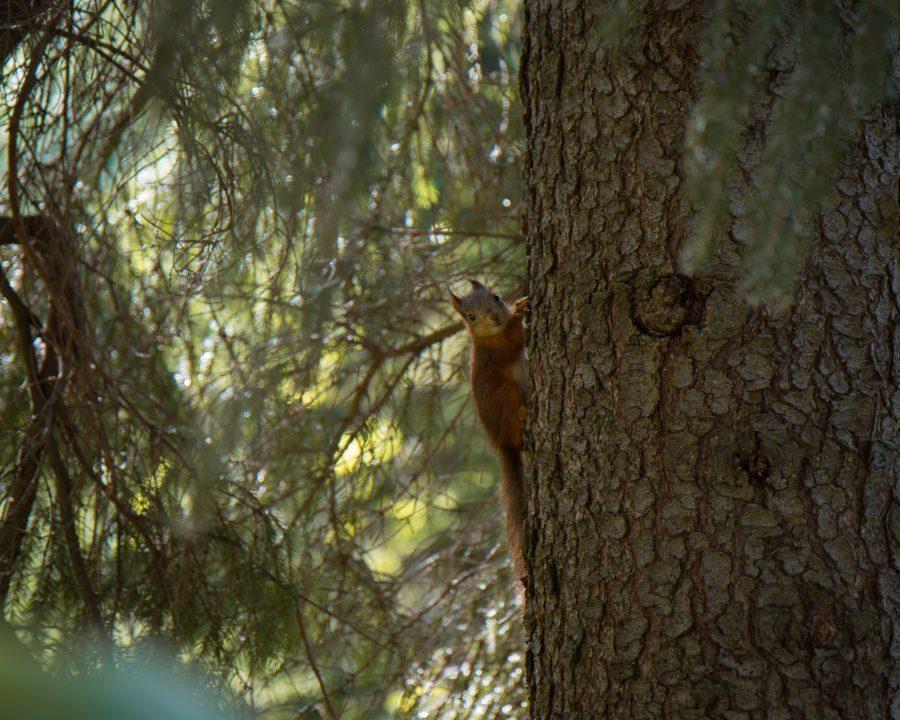 Orava kiipeämässä kuuseen.
